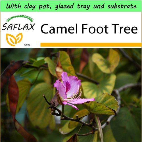 SAFLAX Garden to Go - Camel Foot Tree - Bauhinia - 8 seeds