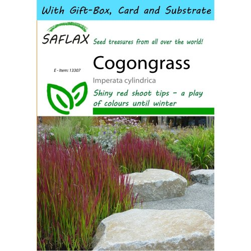 SAFLAX Gift Set - Cogongrass - Imperata cylindrica - 50 seeds - With gift box, card, label and potting substrate
