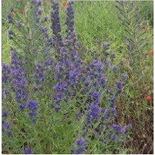 Wild Flower - Viper's Bugloss - Echium Vulgare - 300 Seeds