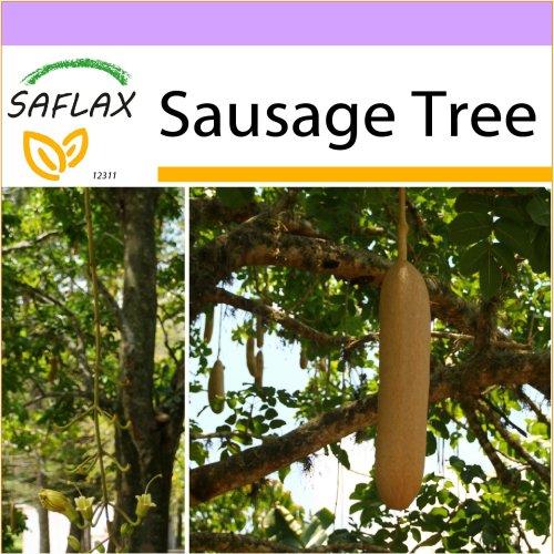 SAFLAX  - Sausage Tree - Kigelia - 10 seeds