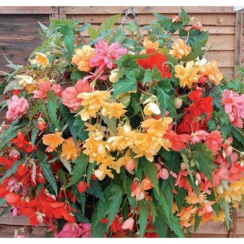 Flower - Begonia - Illumination Mixed F1 - 10 Seeds