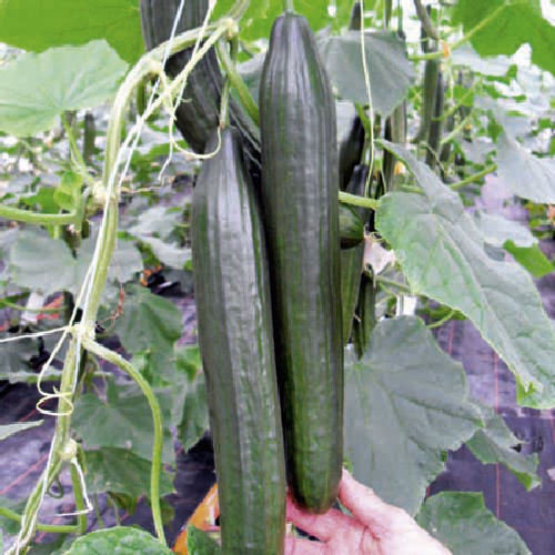 Fruit//Vegetable Seeds 10 Viridis Hortus Biquinho Red Pearl Peppers