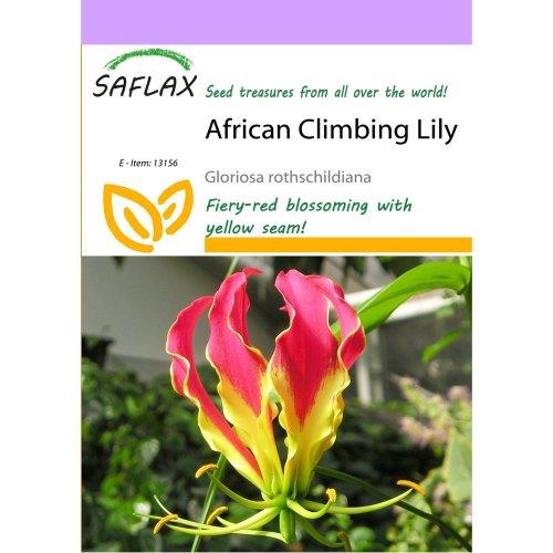 Saflax  - African Climbing Lily - Gloriosa Rothschildiana - 15 Seeds