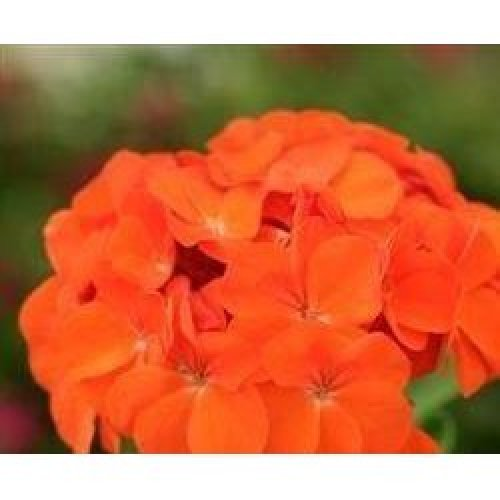 Flower - Geranium - Spirit Orange F2 - 10 Seeds
