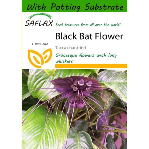 Saflax  - Black Bat Flower - Tacca Chantrieri - 10 Seeds - with Potting Substrate for Better Cultivation