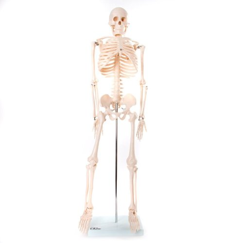 66fit Anatomical Skeleton Model - 85cm - Medical Educational Training Aid