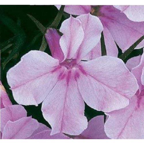 Flower - Lobelia Bedding - Riviera Lilac - 10000 Seeds