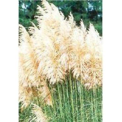 Grass - White Feather - Cortaderia Selloana - 100 Seeds